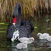 Black Swan feeding young