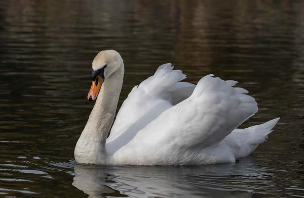 Mute Swan - female