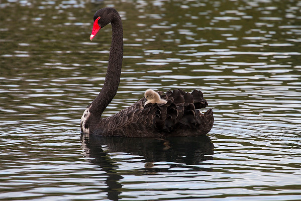 Black Swan, male with a chick