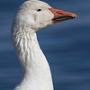 A lone snow goose, separated from the rest of the flock.