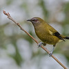 Bellbird, male