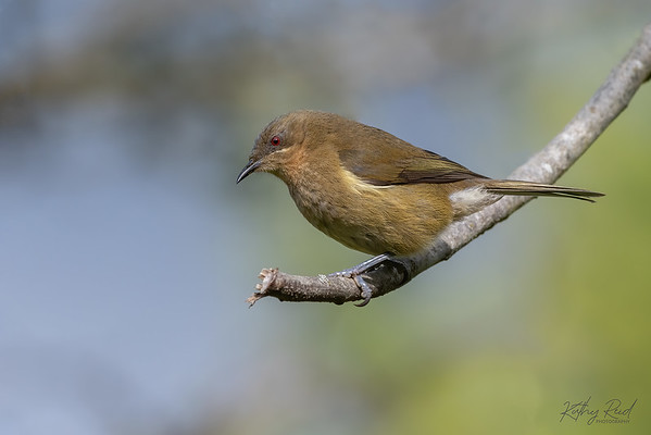 Bellbird, female
