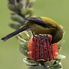 Bellbird feeding on a Banksia