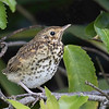 Thrush Fledgling