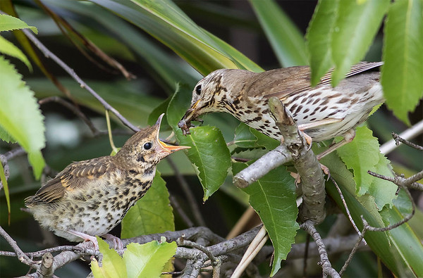 Song Thrush feeding fledgling