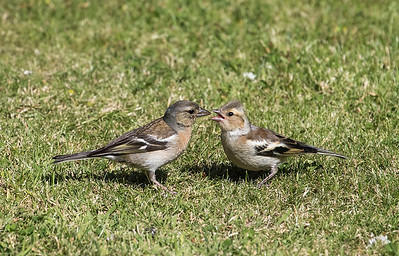 Female Chaffinch feeding chick