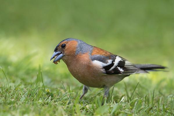 Chaffinch - male