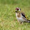 Goldfinch  - female