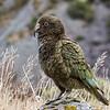 Kea - Arthur's Pass   -- Voted bird of the year 2017