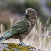 Kea - Arthur's Pass NZ  - Voted Bird of the year 2017