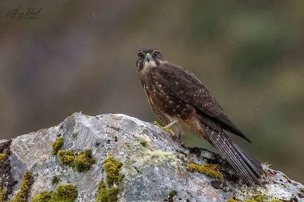 New Zealand Falcon (juvenile)