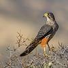 New Zealand Falcon  -  male