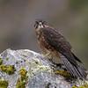New Zealand Falcon  (juvenile)