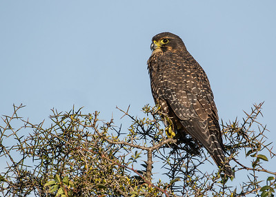 New Zealand Falcon - female