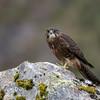 New Zealand Falcon - Juvenile