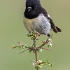 South Island Tomtit