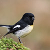 South Island Tomtit  -  male #12