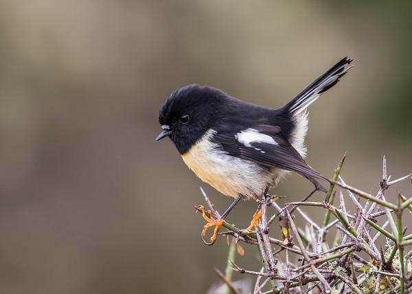 South Island Tomtit - male #37