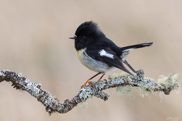 South Island Tomtit - male