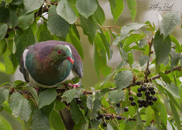 New Zealand Wood Pigeon - Kereru