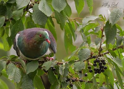New Zealand Pigeon - Kereru