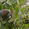 New Zealand Wood Pigeon - Kereru