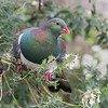 New Zealand Pigeon - Kereru