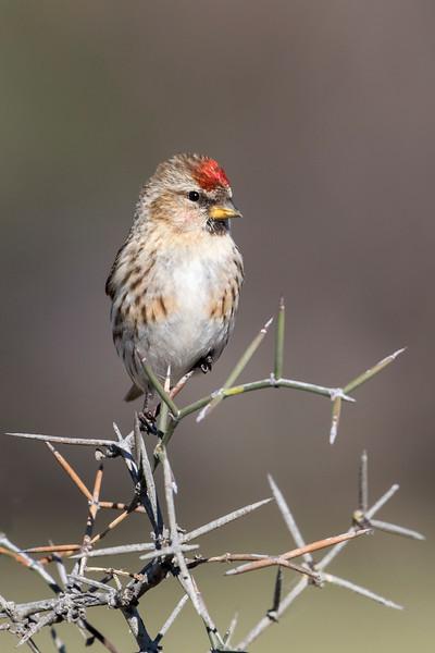 Redpoll  - female