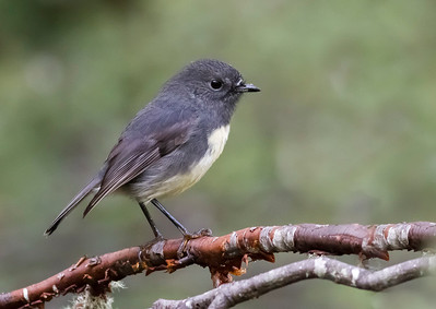 South Island Robin - Toutouwai