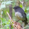 Steward Island Robin