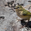 Rock Wren - male