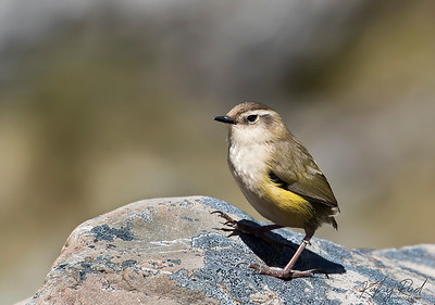 Female Rock Wren