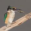 Sacred Kingfisher #37