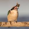 Sacred Kingfisher #42