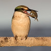 Sacred Kingfisher #32
