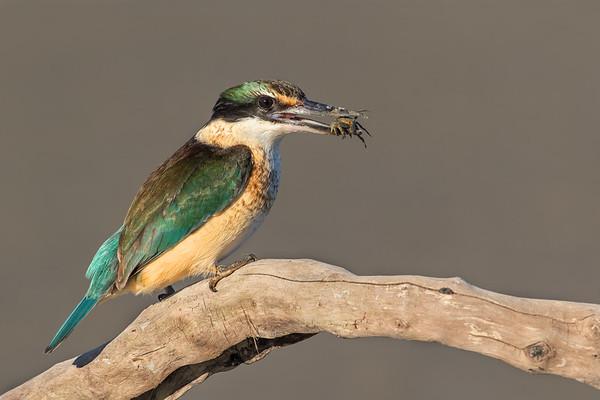 Sacred Kingfisher #7