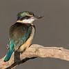 Sacred Kingfisher #1