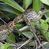 Song Thrush feeding fledgling