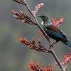 Tui feeding on harakeke flowers