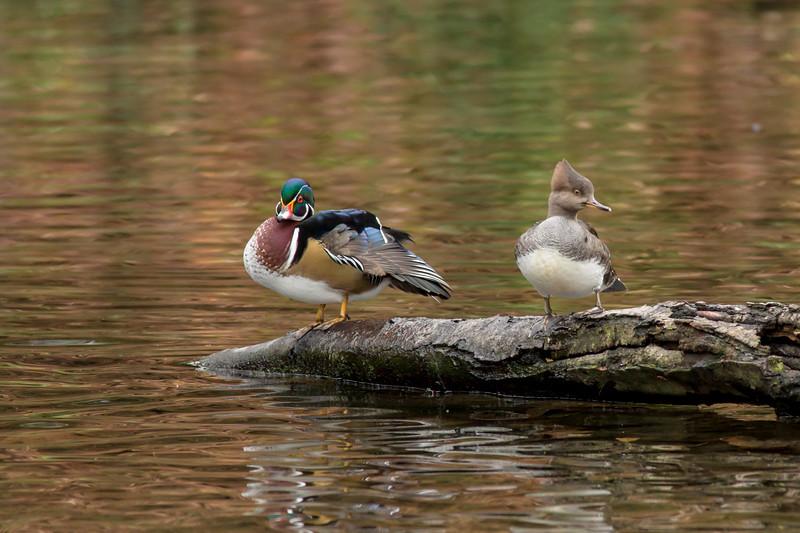 Wood Duck and Hooded Merganser