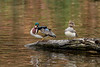 Wood Duck and Hooded Merganser