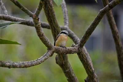 Brown Shrike (male)