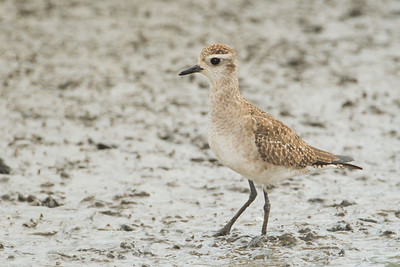American Golden-Plover - Juvenile - South Padre Island, TX, USA