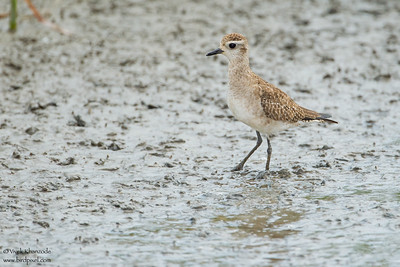 American Golden-Plover - South Padre Island, TX, USA