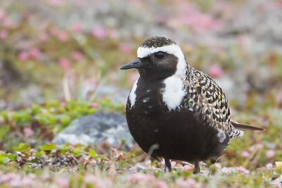 American Golden-Plover - Nome, AK, USA