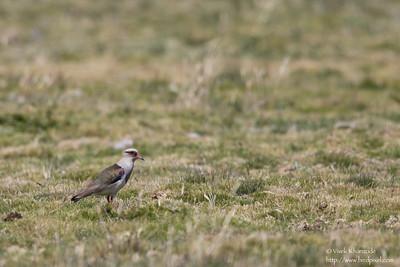 Andean Lapwing - Record - Antisana Ecological Preserve, Ecuador