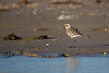 Black-bellied Plover - Brownsville, TX, USA