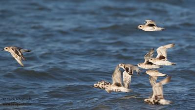 Black-bellied Plovers in flight - Foster City, CA, USA