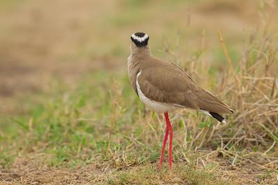 Crowned Lapwing - Ngorongoro Crater, Tanzania