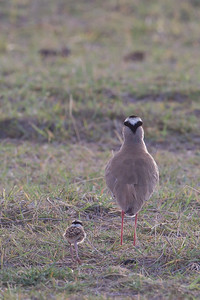 Crowned Lapwing with chick - Amboseli National Park, Kenya